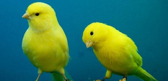 i canarini dell'isola d'Elba